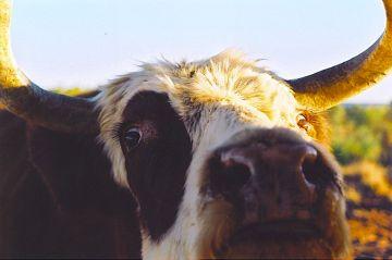Johnny's bull